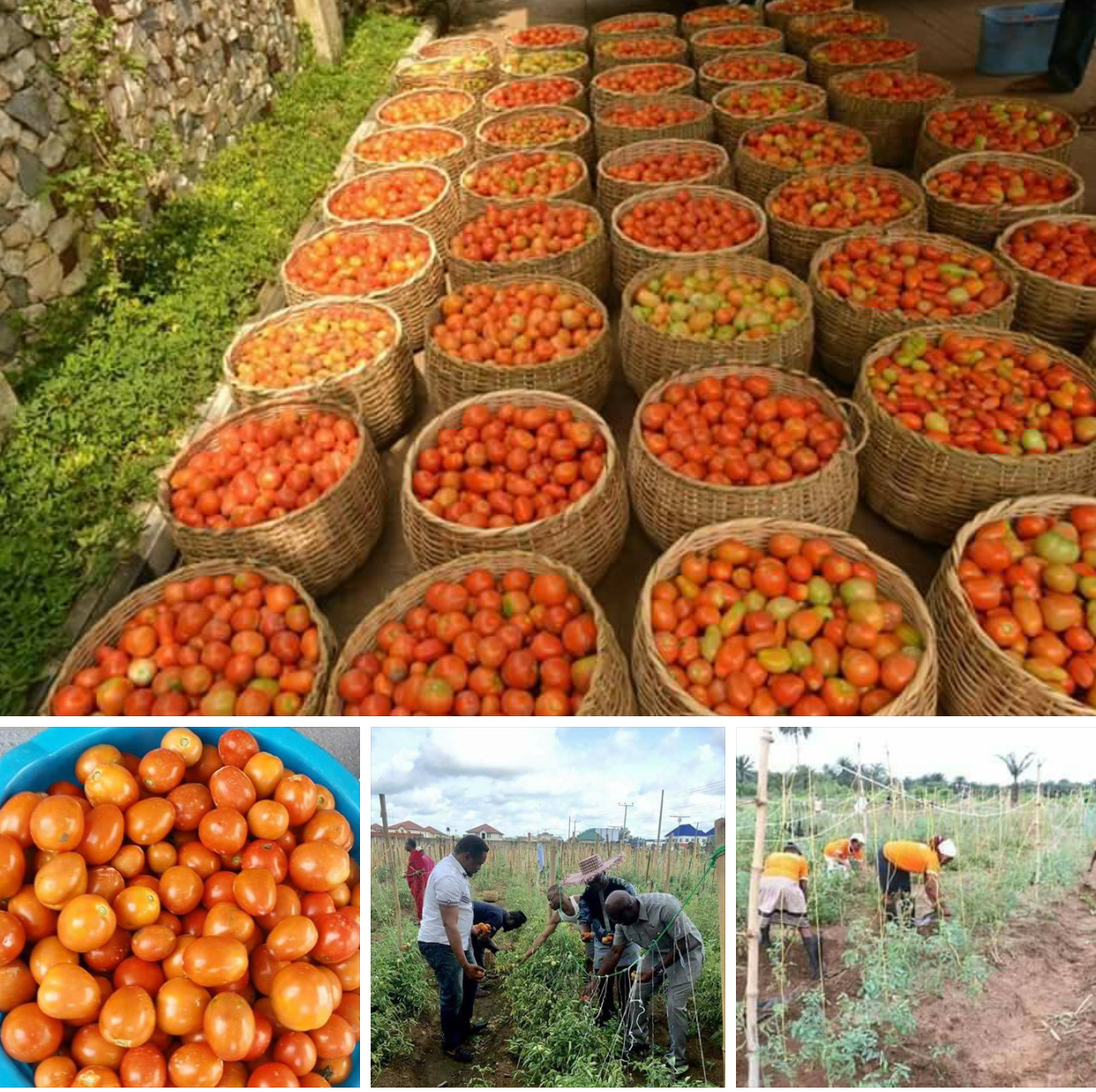 "…"" Planting tomatoes in the north are seasonal but in AKS is all year round""- consultant … ""Udom may build a tomato processing factory in AKS""--Source An interaction with the Consultant on agriculture to Akwa Ibom Enterprise and Employment Scheme (AKEES), Mr. Bezhnev Lanqwa has revealed that Okobo LGA of Akwa Ibom State is set to yield an average of no less than 2000 tons of tomato."
